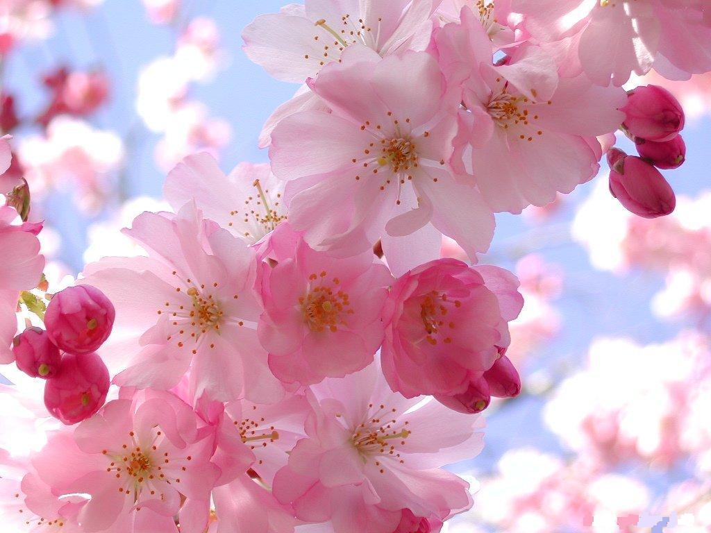 flores jardim primavera : flores jardim primavera:Pink Cherry Blossom Flowers