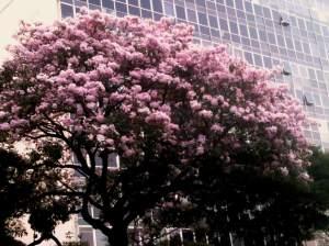 A natureza de Belo Horizonte colaborando com este lindo Ipê Rosa na porta do Palácio das Artes